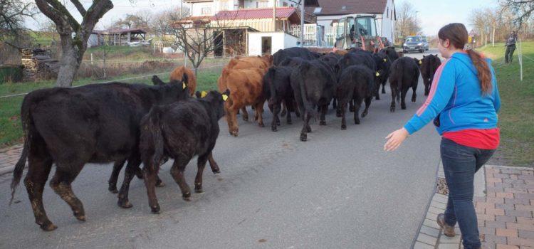 Kühe in den Stall treiben