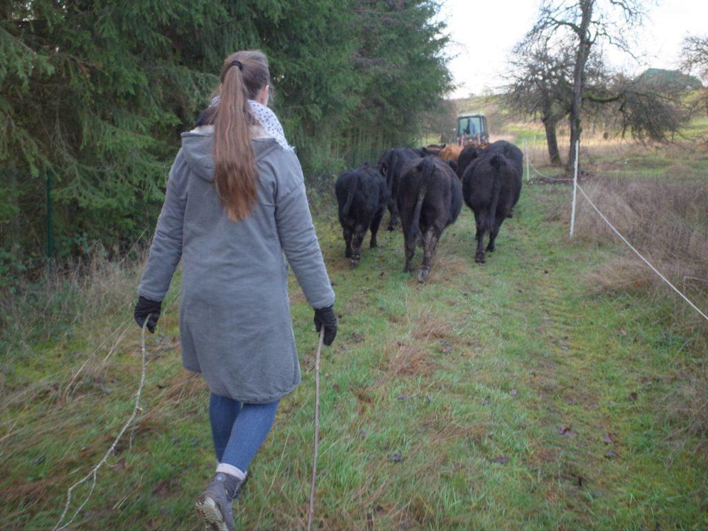 Kühe verlassen die Weide und laufen über Feldweg