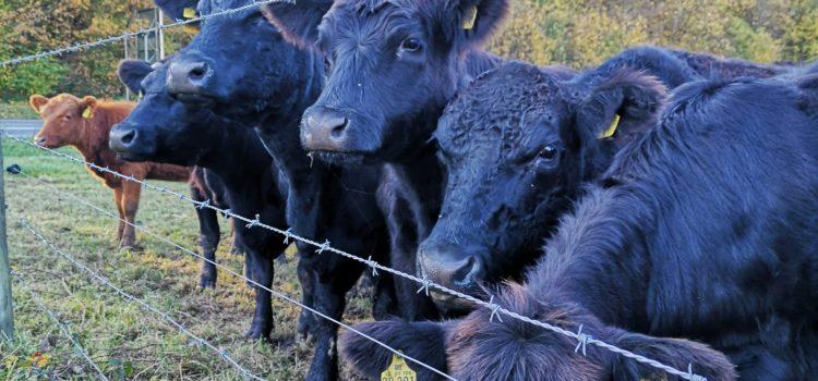 Kühe umtreiben