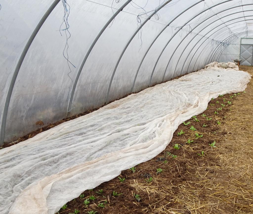 Junge Pflänzchen im Gewächshaus, teilweise durch Vlies vor Frost geschützt