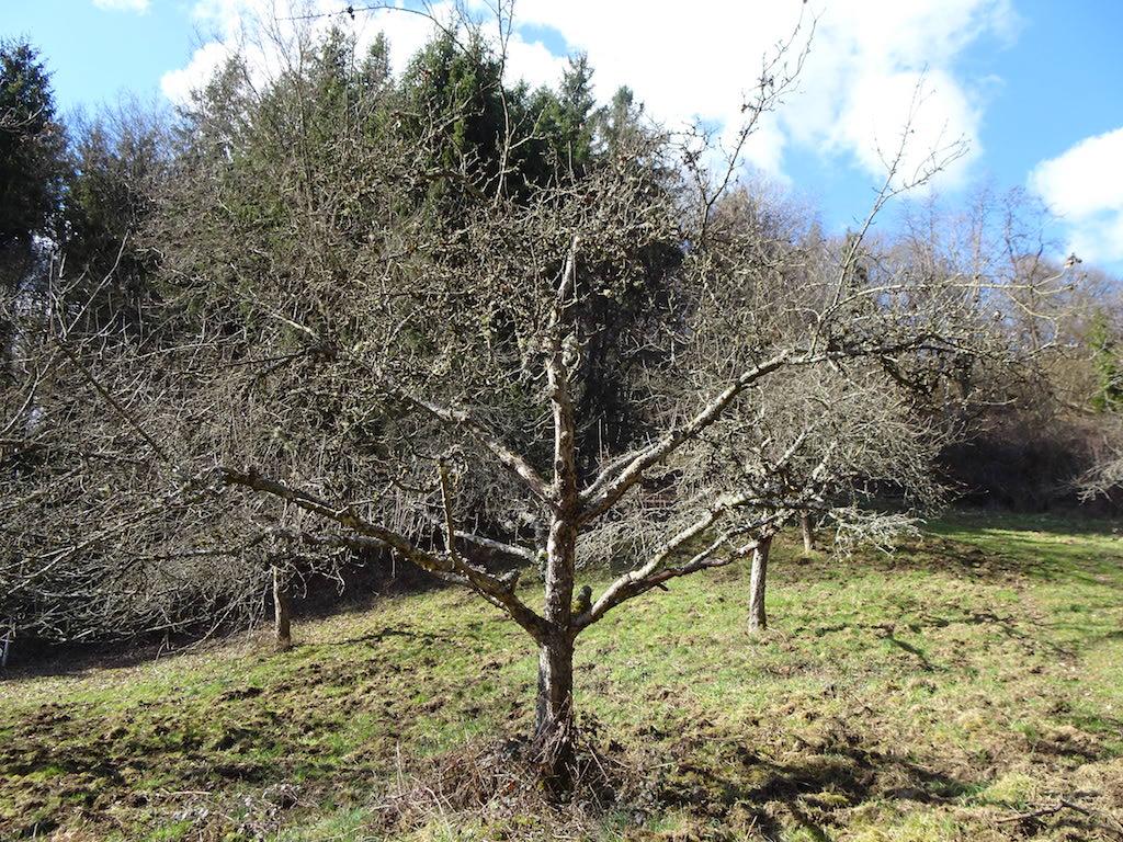 Alter Obstbaum auf Streuobstwiese