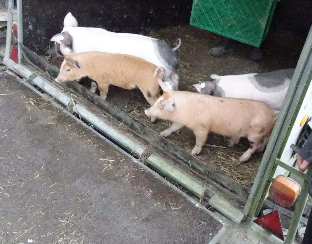 Schweine verlassen den Anhänger