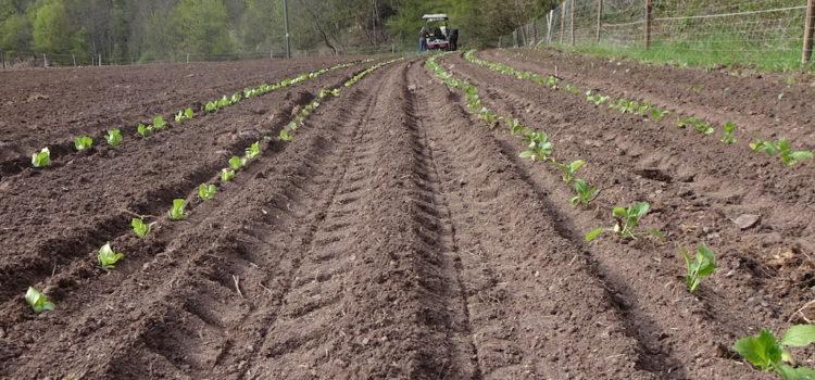 Die ersten Pflanzen sind auf dem Gemüseacker